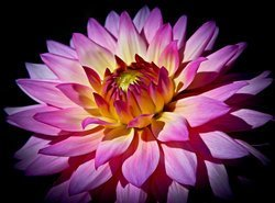 rsz_blossoming-flower-athena-mckinzie